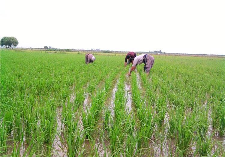 برنج با طعم فاضلاب