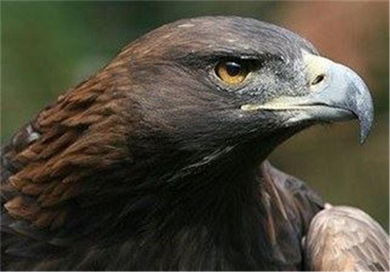 رهاسازی عقاب وحشی توسط آتش نشانی تیران اصفهان