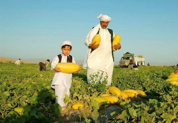 خبرنگاران بیشترین خربزه ایران در تربت جام خراسان رضوی تولید می شود