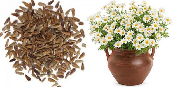 نحوه کاشت گل مینا در گلدان و نگهداری از آن