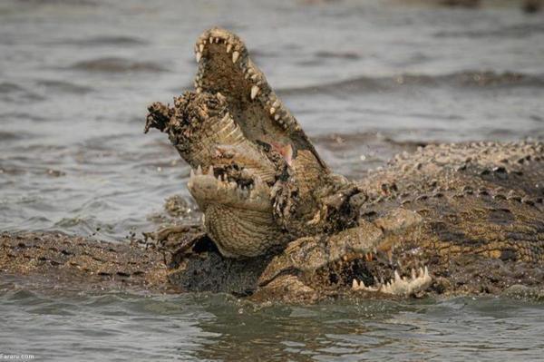 تمساح نیل یک تمساح دیگر را تکه تکه کرد!